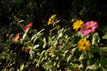 Zinnia (seeds from the Himalaya)