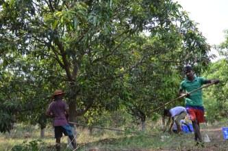 mangoes, organic mango, organic mangoes, naturally ripened, organic alphonso, organic hapus, hapus, alphonso, rajapuri, batli, kesar, dasseriya, totapuri, sindhu, farm fresh, farm to fork, slow food