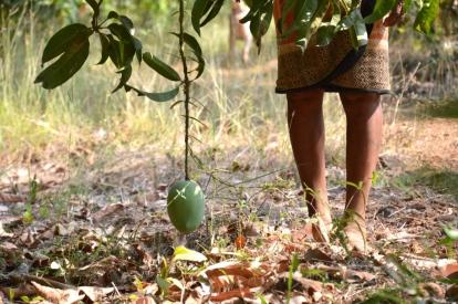 mango, alphonso, rajapuri, kesar, hapus, organic, vrindavan, vrindavan farm, farm, mangoes, natural