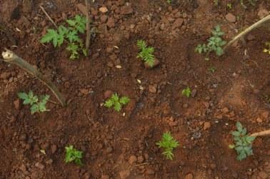 vrindavan farm, produce, tomato, natural, organic