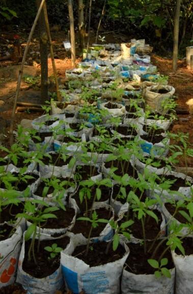 tomato, natural, produce, vrindavan farm