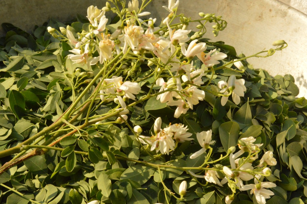 vrindavan farm, moringa flowers