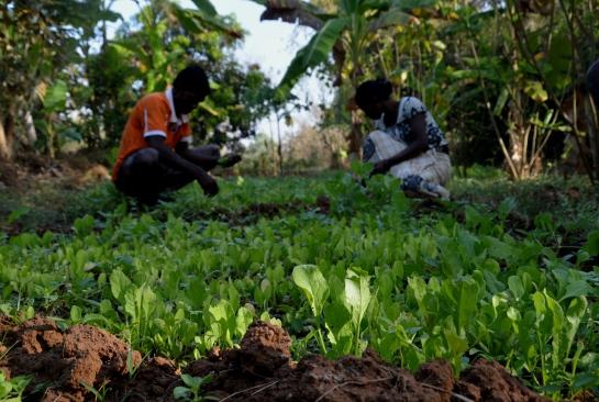 vrindavan farm, natural, produce, organic, spinach
