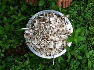 #foraging #fungi #vrindavanfarm #wildfoods