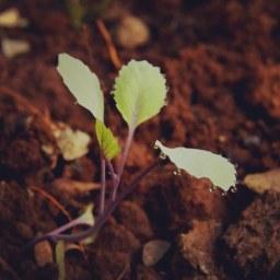 redrock-cabbage