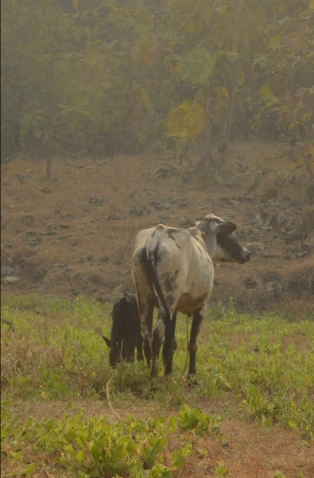 vrindavan farm, indigenous cows, roaming free