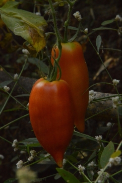 vrindavan farm, heirloom, tomatoes, tomates
