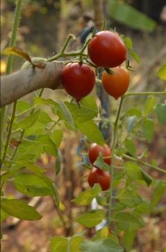 tomates cherise