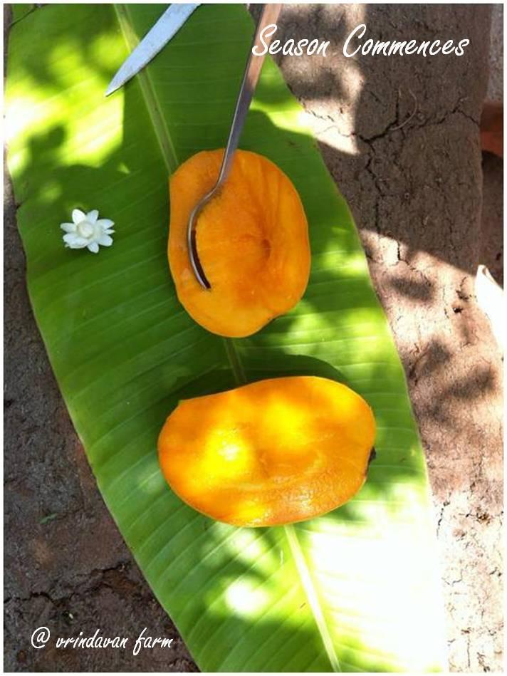 mango, organic, produce, farm fresh, vrindavan, vrindavan farm, alphonso, kesar, rajapuri