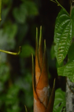 bamboo, bamboo shoot, indigenous produce, native, food, foraging, vrindavan farm
