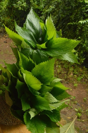nettle, stinging nettle, wild, edible, wildfood