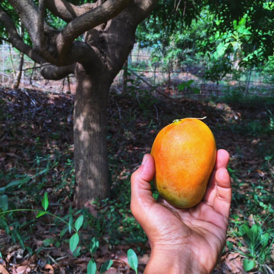 mango, vrindavan, farm, organic, locallygrown, farmfresh, naturallyripened, mumbai, alphonso, kesar, rajapuri